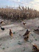 农家院纯散养笨鸡鸭鹅