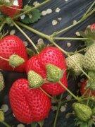 自家大棚草莓