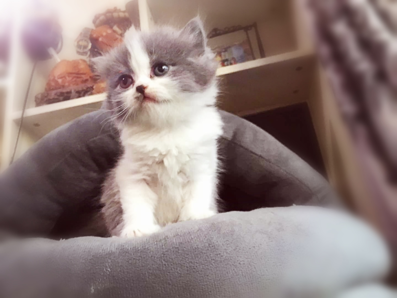 出售自家繁育纯种蓝猫蓝白