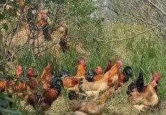 高价收购散养大红公鸡,小笨鸡
